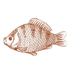 crucian freshwater fish vector image vector image