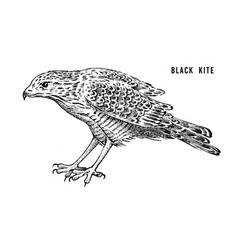 black kite wild forest bird of prey hand drawn vector image