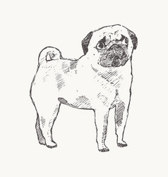 pug hand drawn a dog realistic sketch vector image