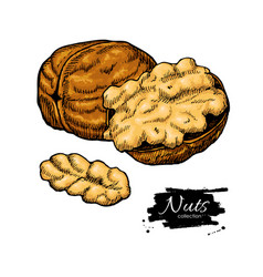 Walnut nuts hand drawn vector
