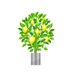 Benjamin ficus deciduous plant in flowerpot vector