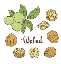 Green walnuts with leaves and dried walnuts vector image