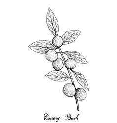 Hand drawn of canary beech fruits on white backgro vector
