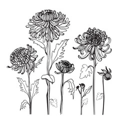 Japanese chrysanthemum set contour realistic vector