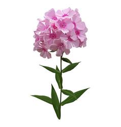 Phlox pink hydrangea vector