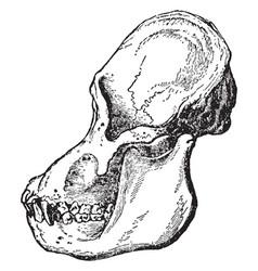 Adult male orangutan skull viewed from side vector