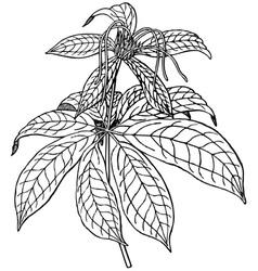 plant paris polyphylla vector image