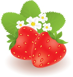 strawberries with leaves and flowers vector image