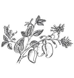 Griffonia Simplicifolia vector