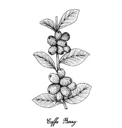 Hand drawn ripe coffee berries on branch vector