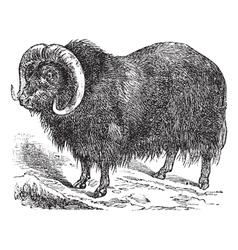 musk ox vintage engraving vector image