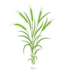 Rye plant bunch green grass secale cereale vector