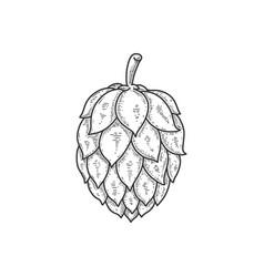 beer hop in engraving style design element vector image