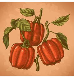 Engraving bell peppers retro vector