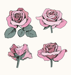 set collection pink roses with leaves isolated vector image