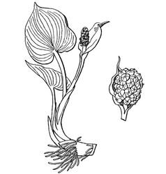 plant calla palustris vector image vector image