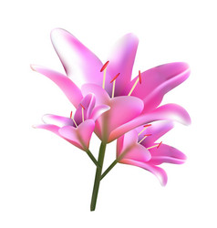 bouquet of pink lilies vector image