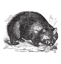 Common wombat vintage engraving vector image