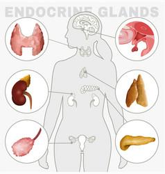 Endocrine glands image vector