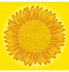 Sunflower detailed vector