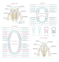 Adult and baby tooth dental anatomy vector