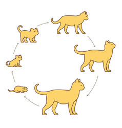 Round stages cat growth set from kitten to vector