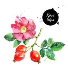Hand drawn watercolor painting rosehips on white vector
