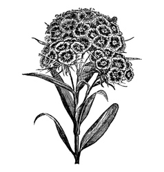Carnation Sweet William engraving vector image
