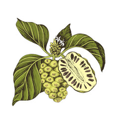 Hand drawn noni branch vector