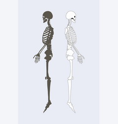 Skeletal system of human body vector