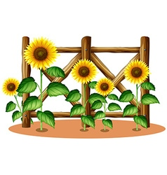 Sunflowers and wooden fence vector image