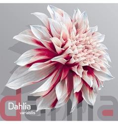 Dahlia grey background vector image