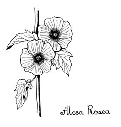alcea rosea hollyhocks flower botany vector image