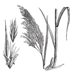 Common reed vintage engraving vector