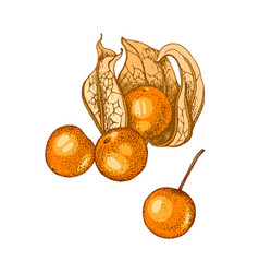 Hand drawn physalis isolated on white background vector