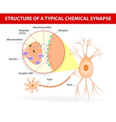 Structure of a typical chemical synapse neurotrans vector image