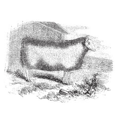 Mounton flandrin ewe vintage vector