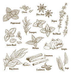 Set hand drawn culinary aroma herbs and spices vector