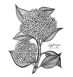 Engraved of hydrangea isolated on vector