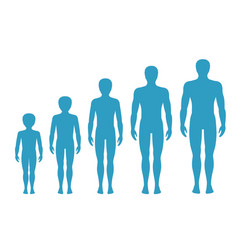 mans body proportions aging vector image