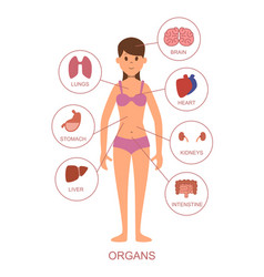 internal organs of the human body anatomy of the vector image vector image
