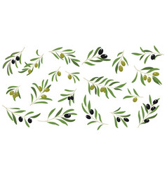 Flat set of branches with ripe olives and vector