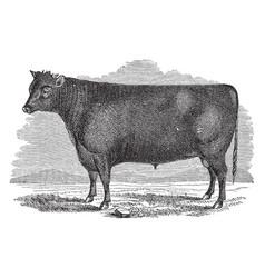 devon bull vintage vector image