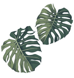 hand drawn leaves tropical monstera vector image