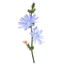 Chicory flower isolated vector image