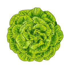 Green lettuce salad head top view vector