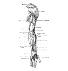 Posterior view of the superficial muscles vector