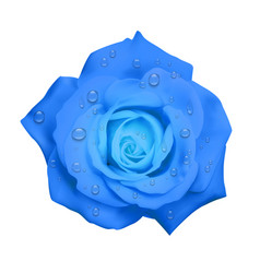 Realistic blue rose with water drops isolated on vector