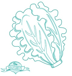 Outline hand drawn sketch of lettuce flat style vector image
