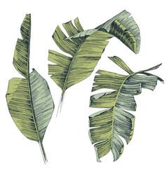 Hand drawn tropical banana palm leaves vector